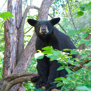 Take in wild black bears from the viewing platform at the Vince Shute Wildlife Sanctuary near Lake Vermilion